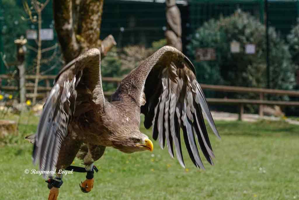 seeadler vogel im flug