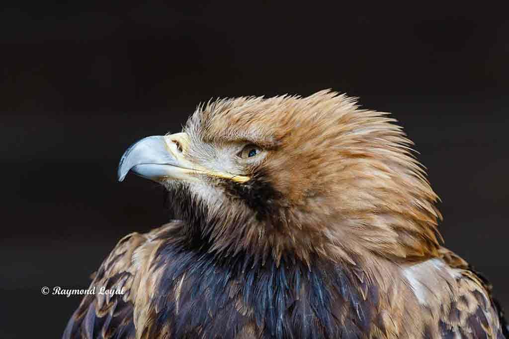 kaiseradler vogel portrait