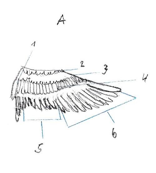 topographie vogelfluegel unterseite
