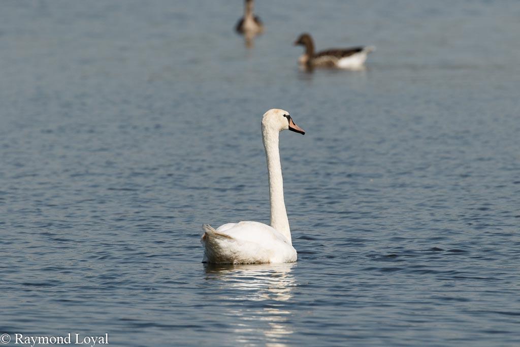 hoeckerschwan schwimmen see