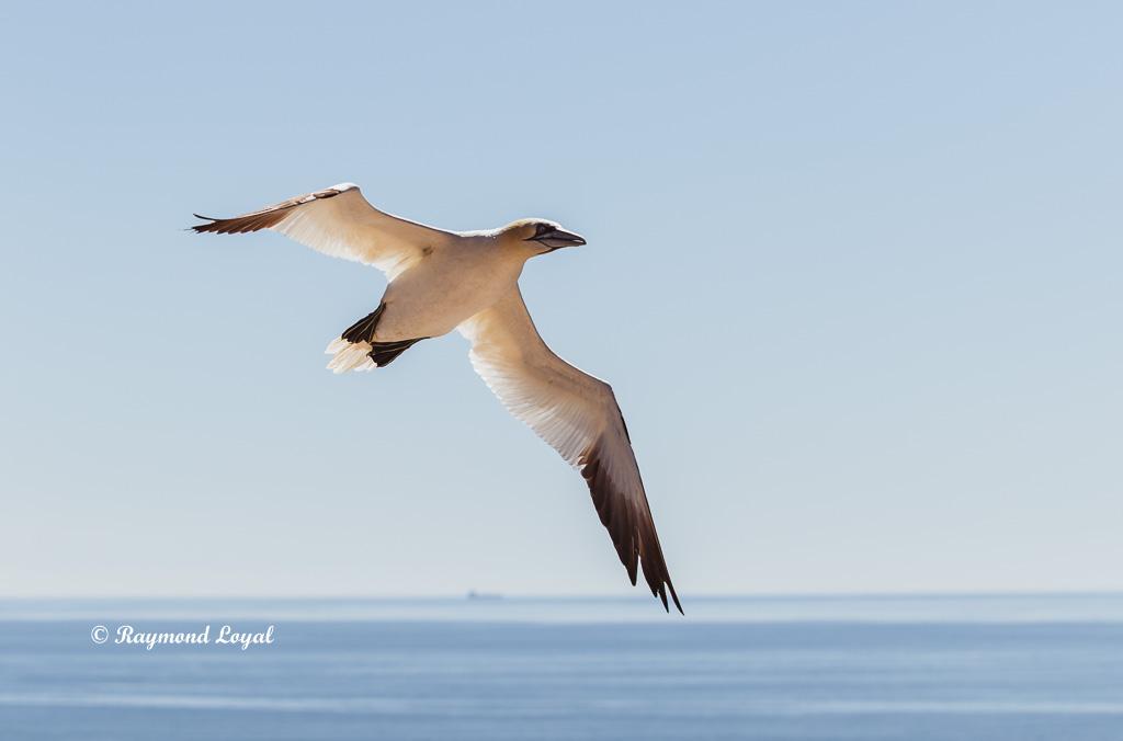 northern gannet helgoland image