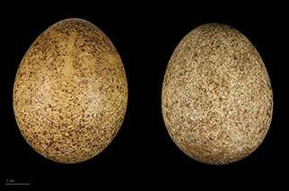 eggs of lanner falcon