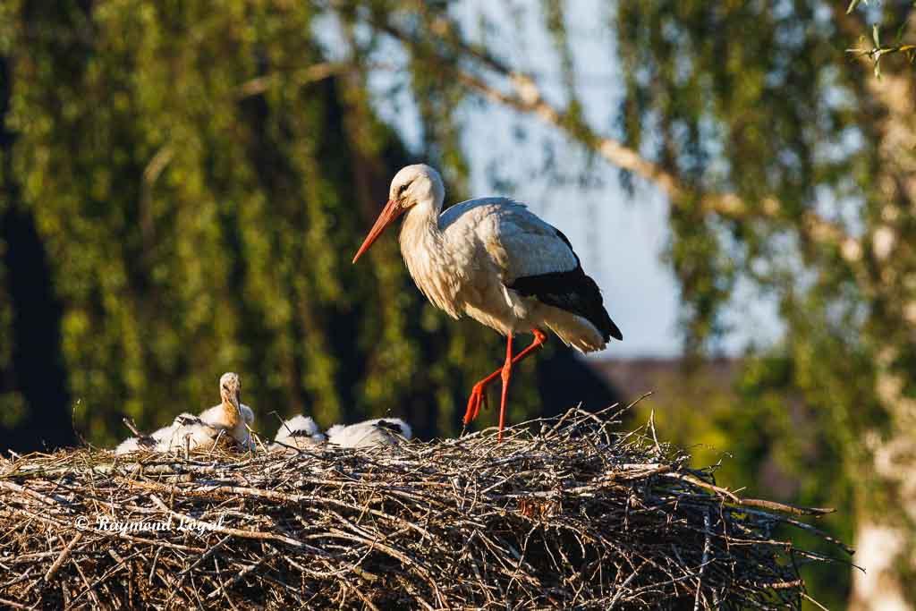 weiss storch nest jungvoegel altvogel