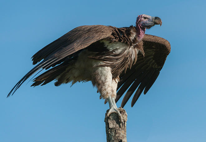 lapped-faced vulture