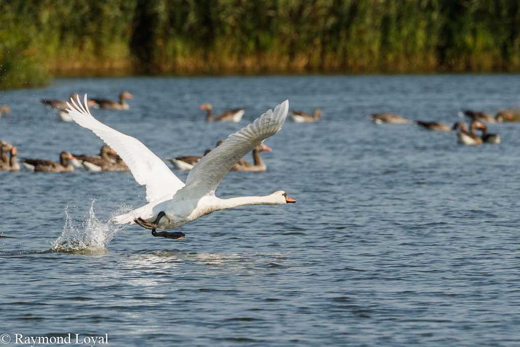 hoeckerschwan flug see wasser