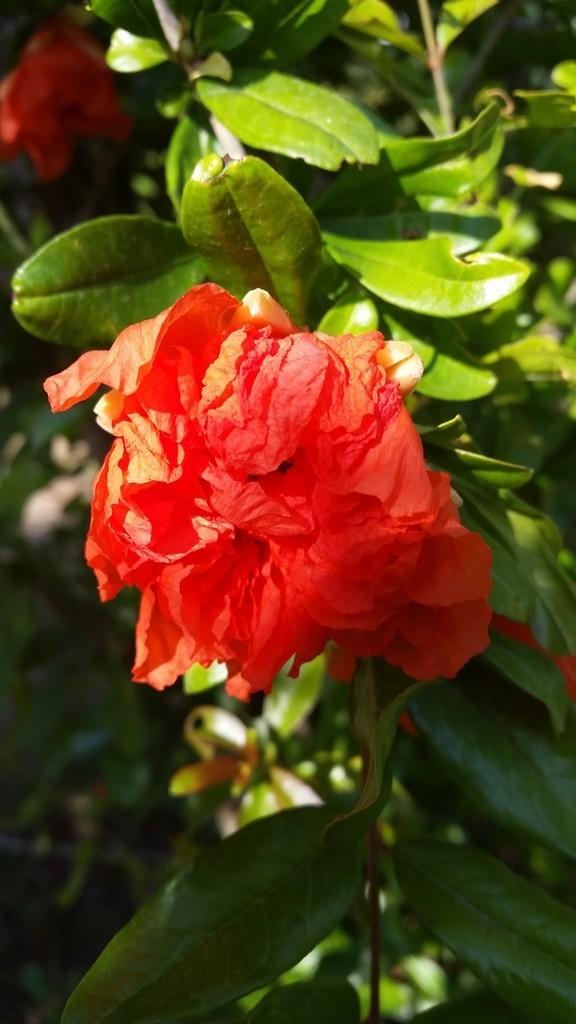 fleur de grenadier rouge vif
