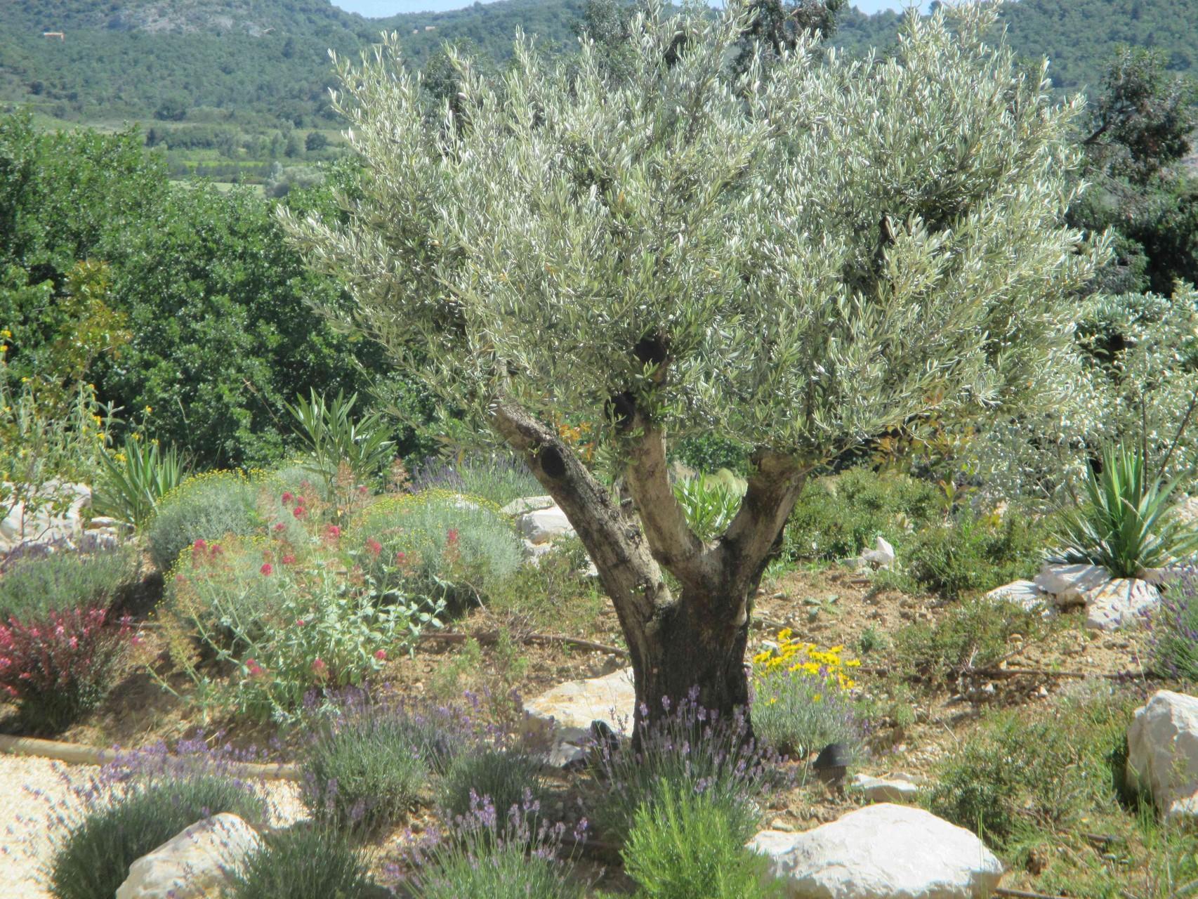 L'olivier du Mas de Molines à Vogüé