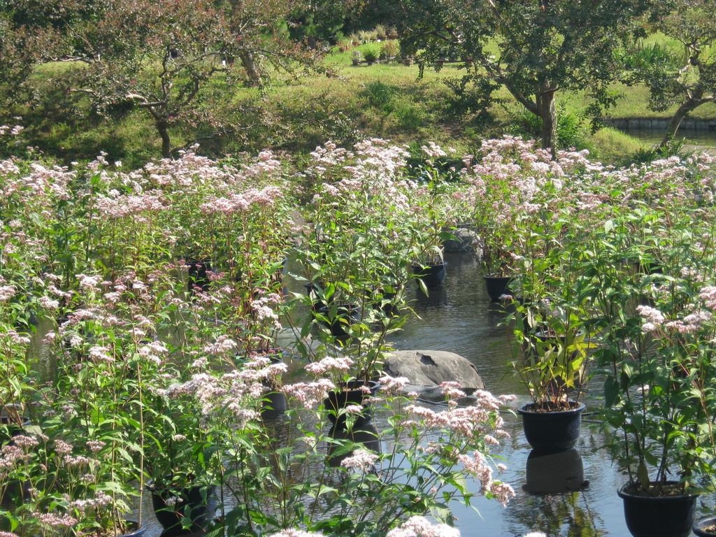 「藤袴」固有種を守り育てるキャンペーンも。朱雀の庭。Suzaku no niwa garden