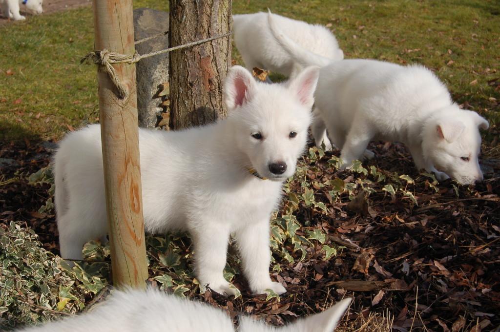 Weißer Schäferhund Welpe Bo - Zafhira of the white Heaven