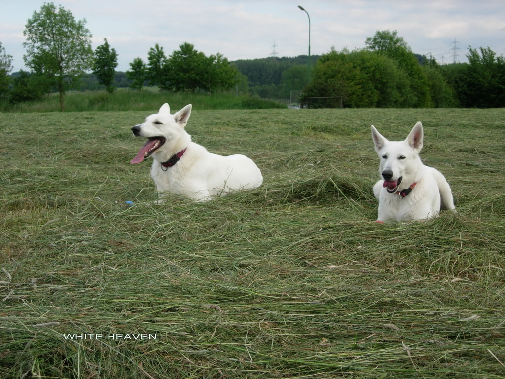 Weisser Schäferhund Celine u.Evita