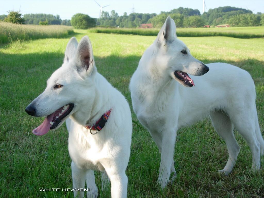 Weisser Schäferhund Celine & Evita