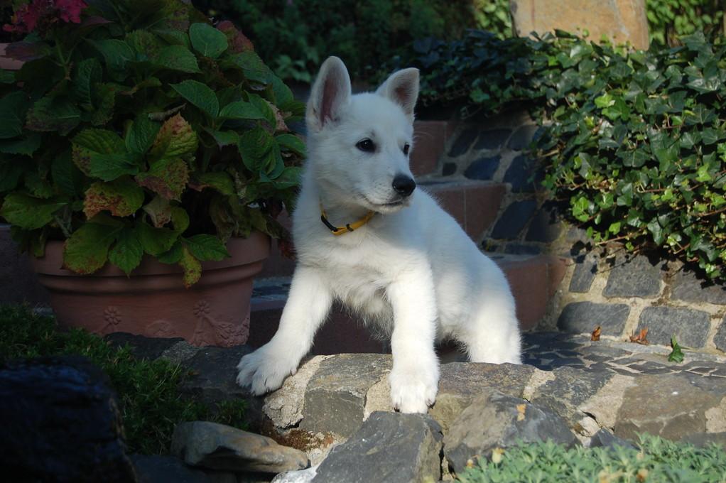 El-Lobo of the White Heaven