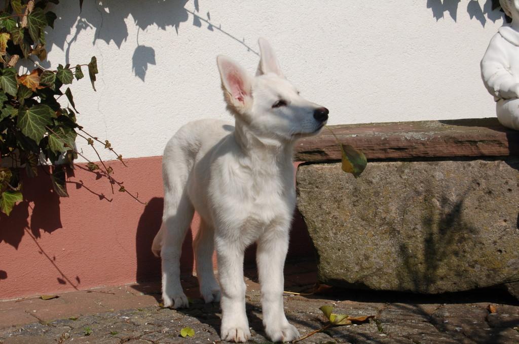 Weißer Schäferhund Bo - Zafhira of the white Heaven