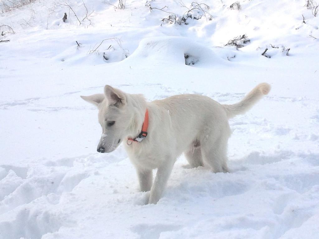 El Lobo of the White Heaven Dezember 2011