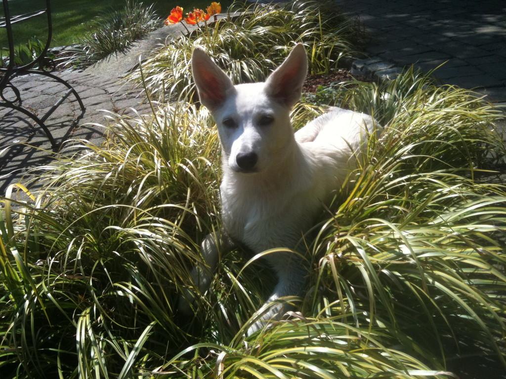 Weisser Schäferhund Dita of the White Heaven