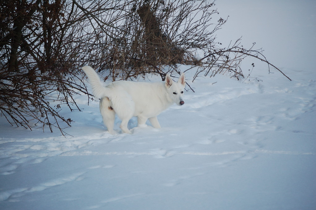 weisse schäferhunde of the white heaven - januar 2011