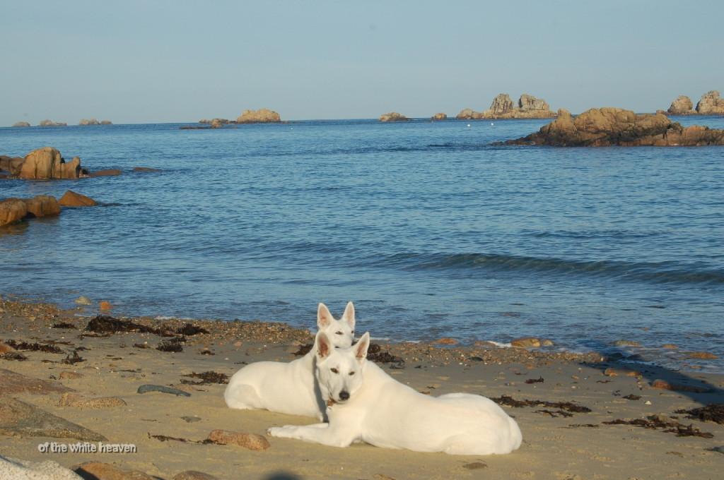 Weisser Scchaeferhund Celine & Evita Frankreich