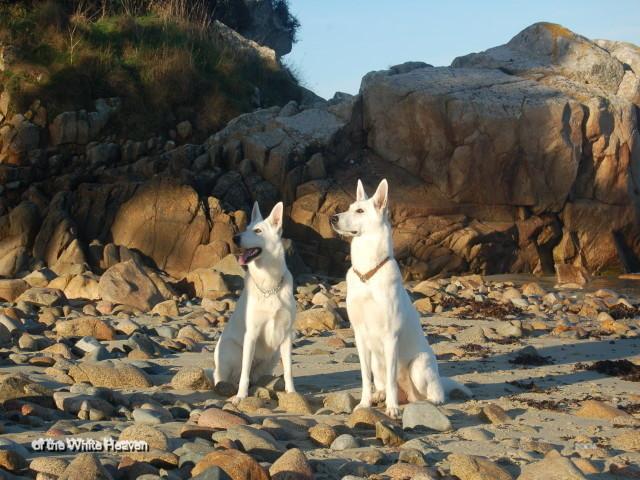 Weisser Schäferhund Celine u. Evita - Frankreich