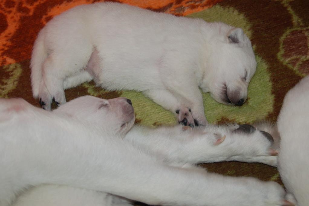 weisse schäferhund welpen d of the white heaven 2