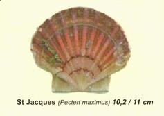 Jacobsmuschel