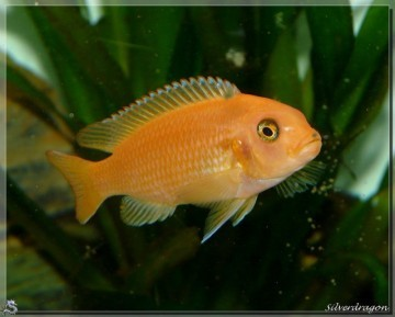 Une de nos femelles O (orange) (origine Malanyka)