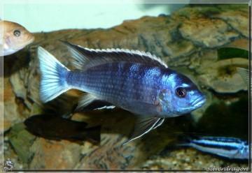 Le mâle ngara montrant toutes ses couleurs