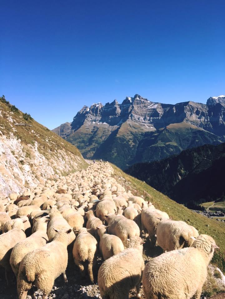 Le troupeau de Vivi Grenon (été 2016)