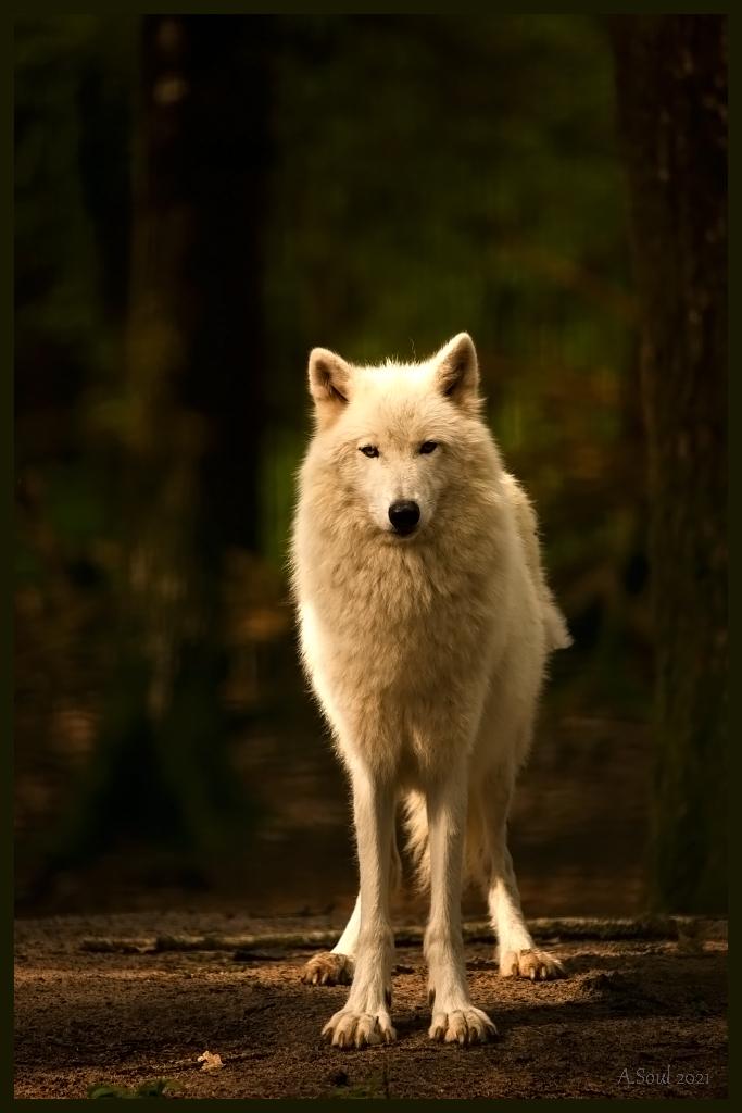 Kimo/Kanadischer Wolfsrüde