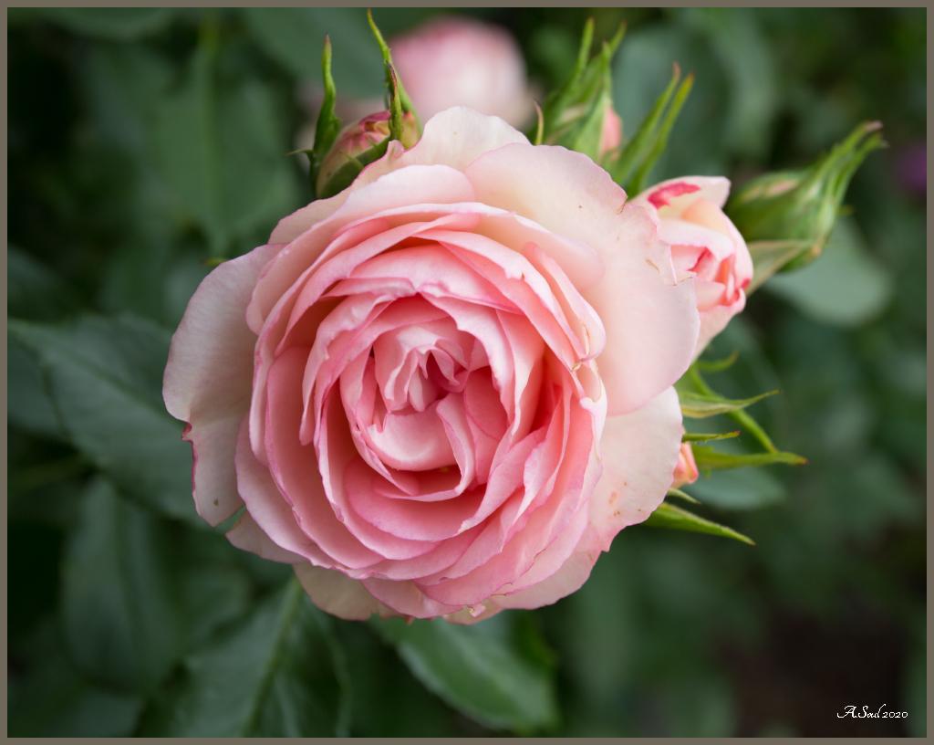 Englische , gefüllte Rose