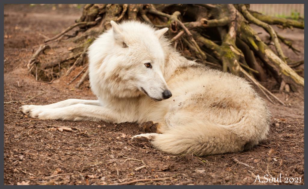 Luna/Kanadischer Wolf