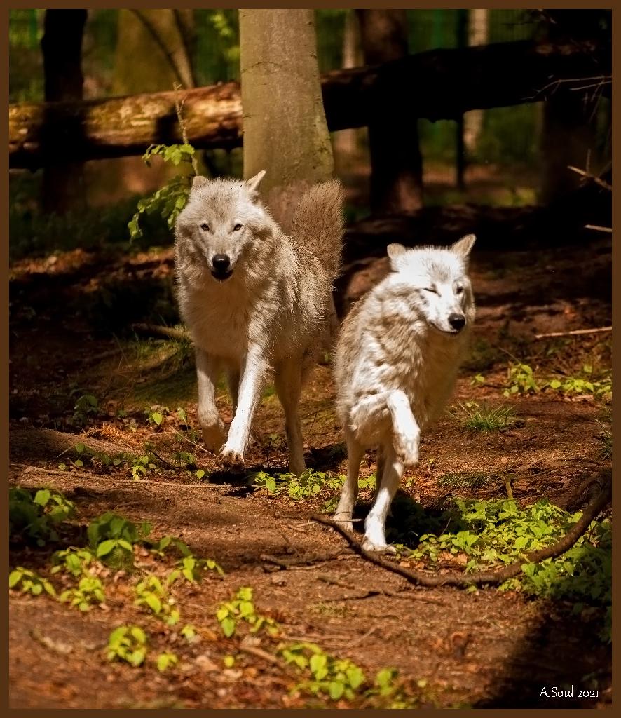 Kanadische Wölfe im run