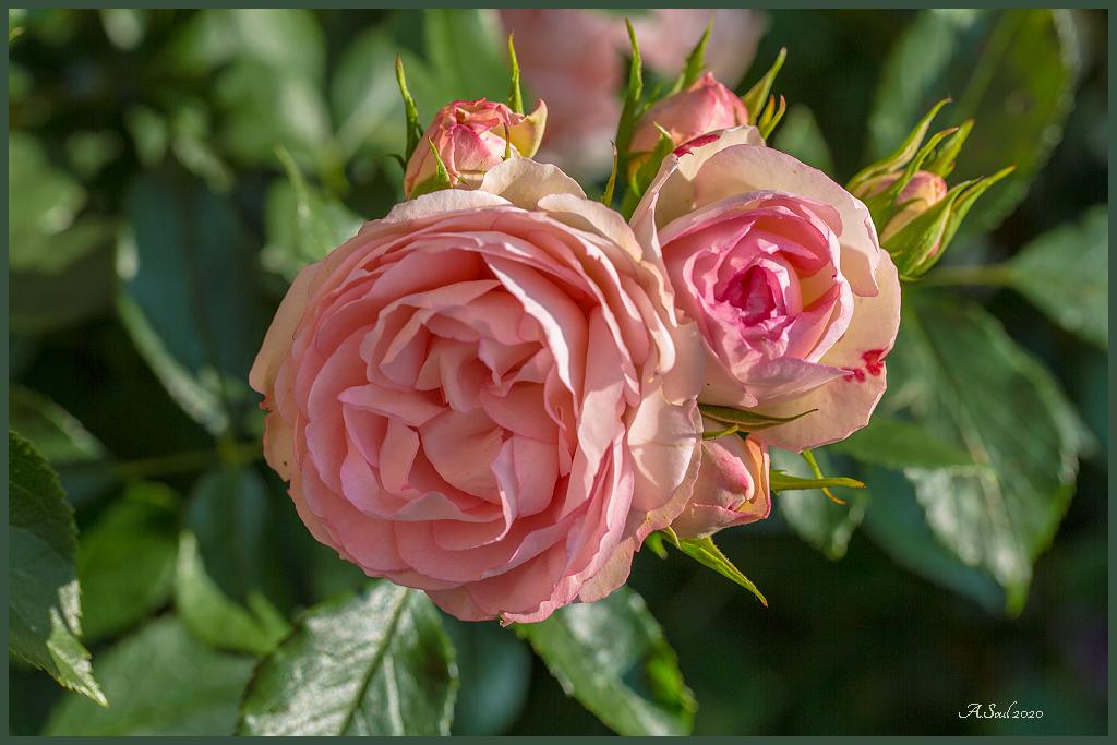gefüllte, englische Rose