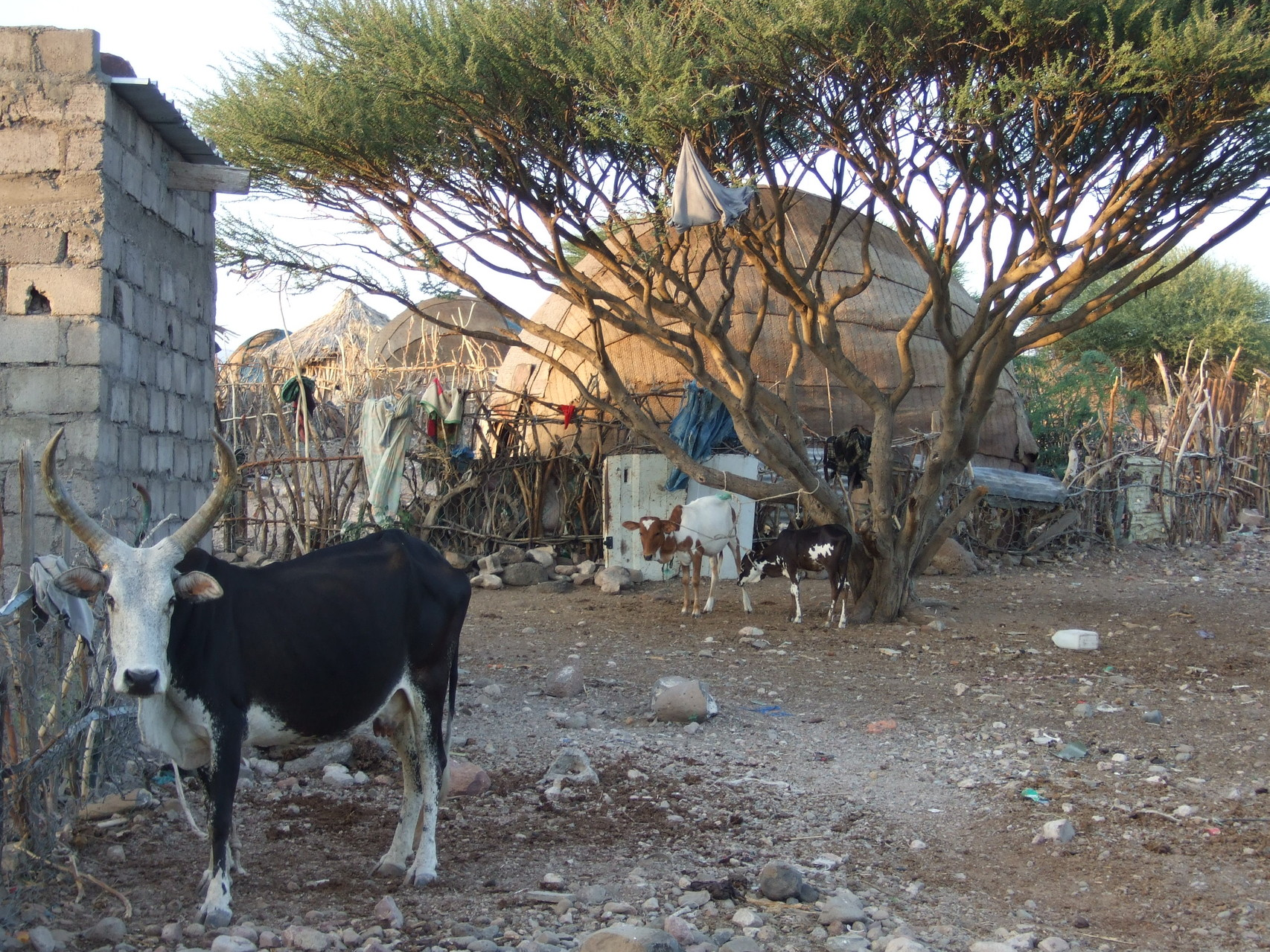 A Ambabo-Kalaf, une daboïta : habitat traditionnel des Afars