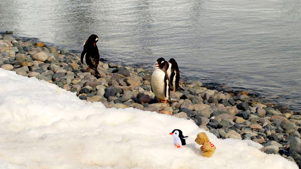 Die Pinguine sehen aus wie Pingus. Curverville Island: 64 ̊40,3'S 62 ̊36,8'W