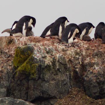 frisch geschlüpfte Pinguinküken