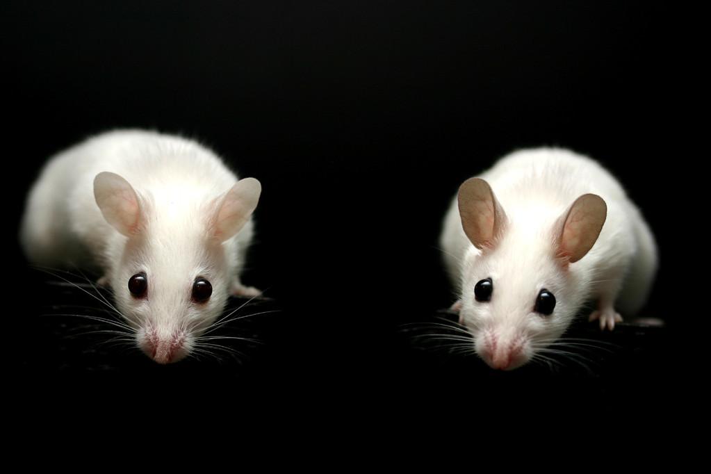 rechts ein Platinum mit braunen Ohren (B/b) im Vergleich zu High White (b/b)