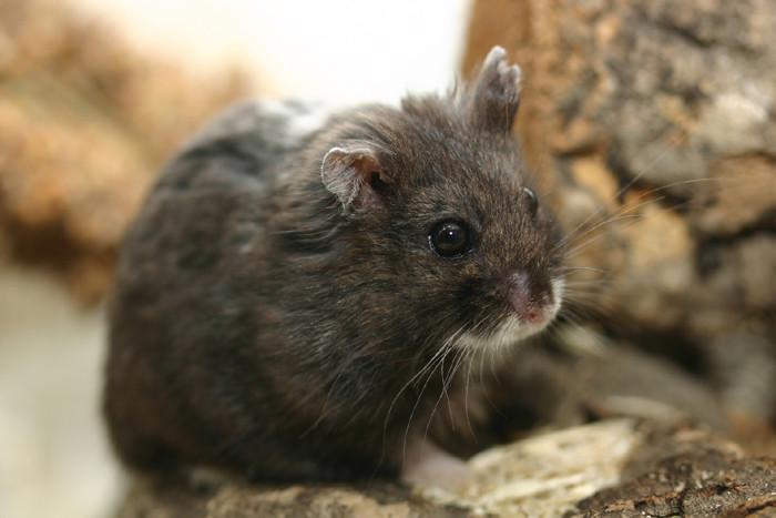 alter-hamster