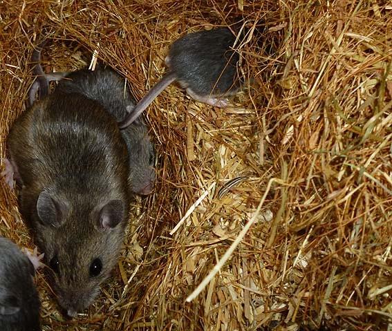 F1 Peromyscus hybrid mit Nachwuchs (hybrid x polionotus) _ Foto: M. Elsner