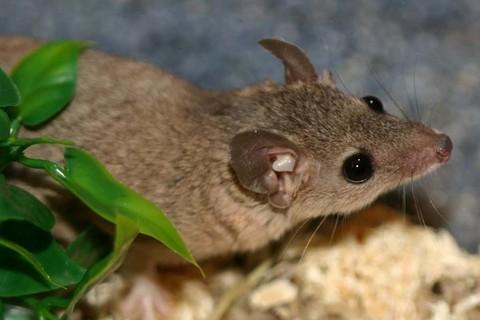 Kurzschwanz-Zwergopossum (Monodelphis domestica)