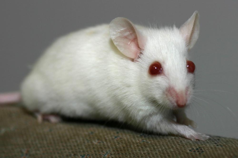Pink Eyed White mit roten Augen