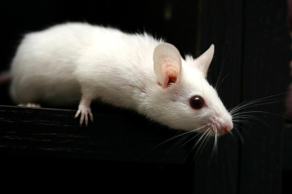 High White mit weißen Ohren