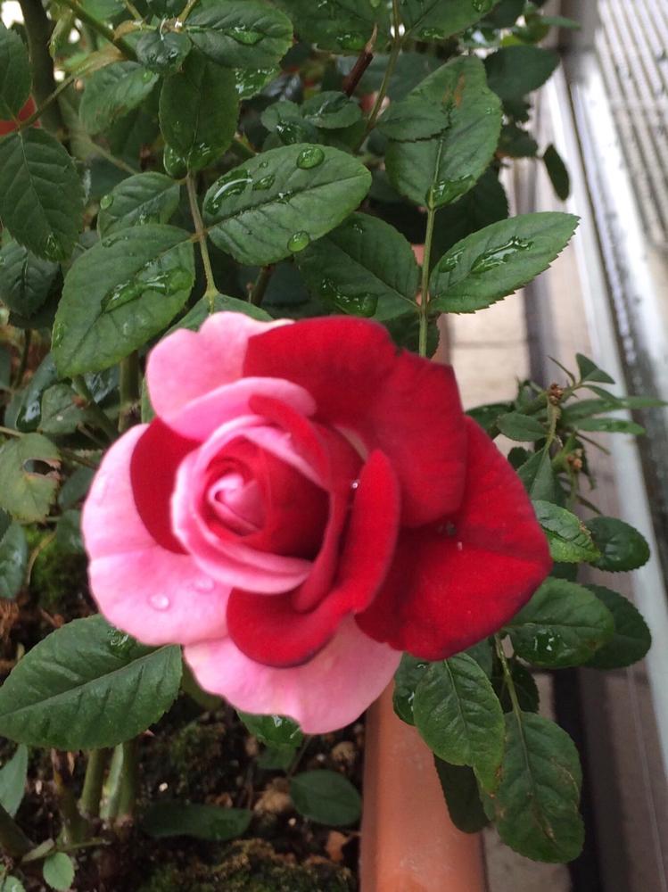 いつかのcaféの玄関に咲いたふいりの花。