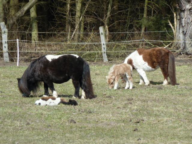 ....die ersten beiden Fohlen...Chayna und Vemke..