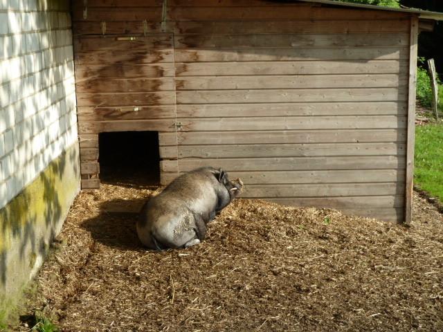 ....Schweinchen in der Sonne.......