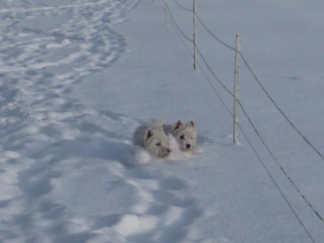 ....Westies mögen Schnee....