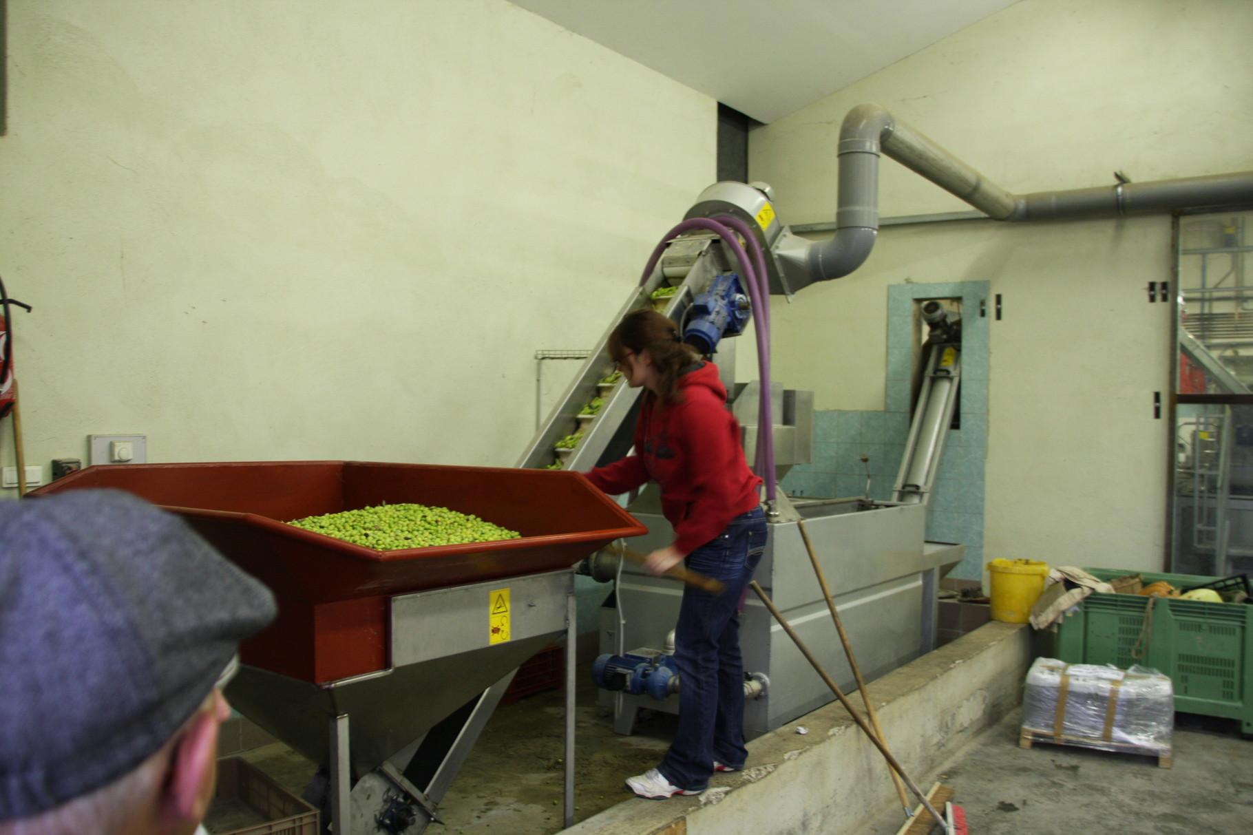 Bild: Am Transportband der Oliven in die Mühle, Gordes