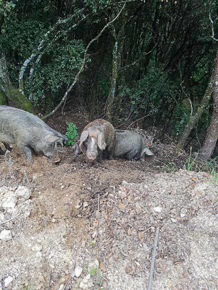 Bild: freilaufende Schweine im Wald