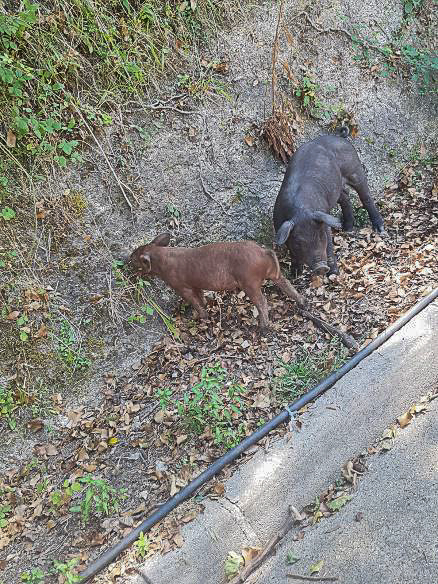 Bild: freilaufende Schweine auf Korsika