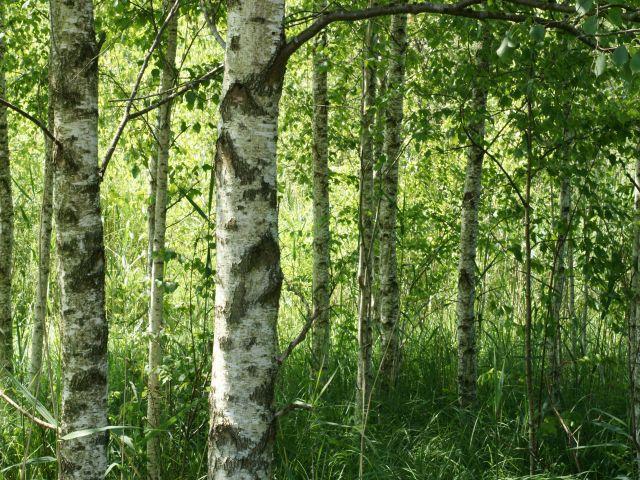Moorwald (Bild: Jost Einstein)