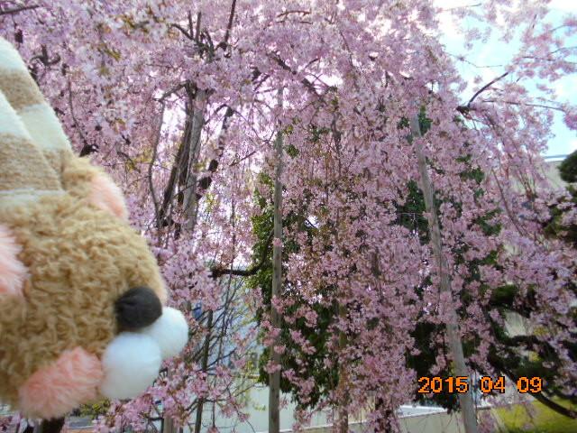 🌸くまマフです、桜は綺麗だな〜っ。。。